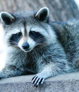Raccoon, photo,